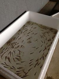 平成26年 サケの稚魚放流について