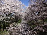 佐久発電所の桜