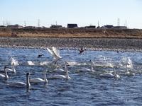 烏川の白鳥