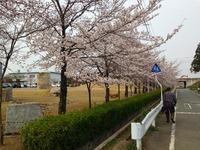 サクラが咲いています♪