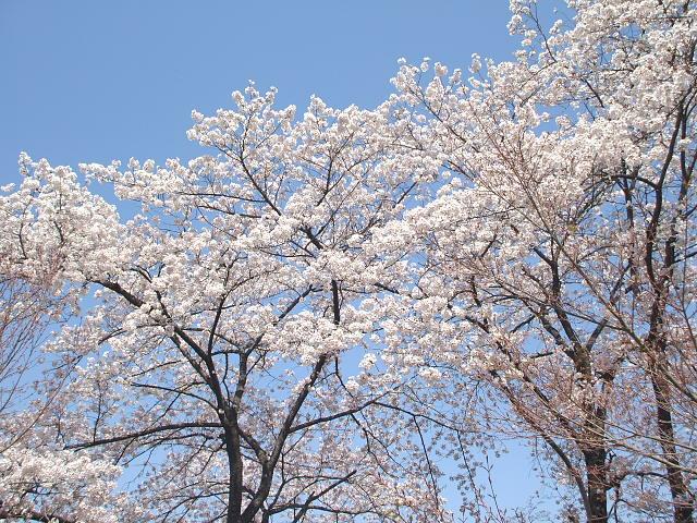 桜さく、h君は