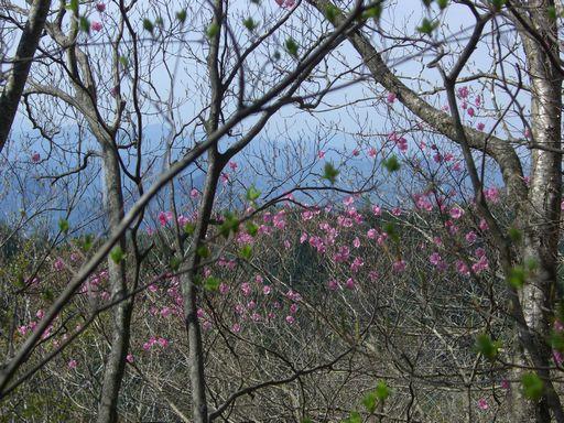 アカヤシオ見納め 新緑の上野村山歩き月間ハイキングより