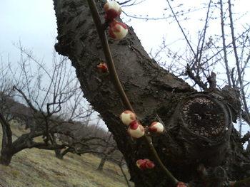 梅さんの花!