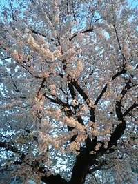 今年も桜咲いた!