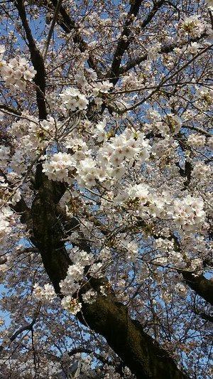 学習センターの桜