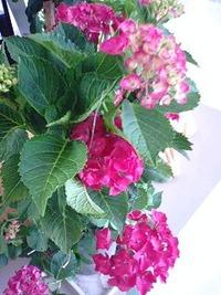「友の会」さんの紫陽花