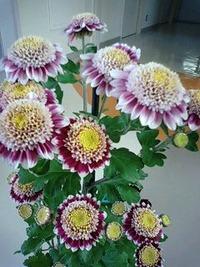 菊が綺麗!