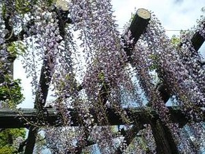 藤岡市役所前の藤の花