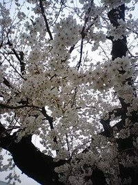 総合学習センター敷地内の桜
